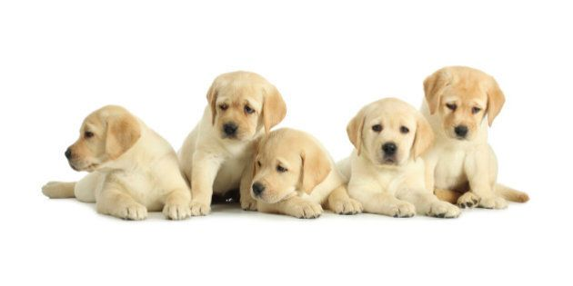 Five labrador retriever puppies isolated on white
