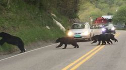 La circulation perturbée par....une famille d'ours!