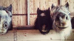 Vous avez toujours rêvé d'avoir un poney? Vous pourriez en adopter