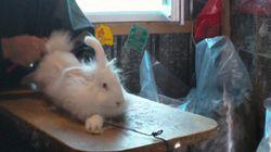En France, les images choquantes de l'élevage des lapins
