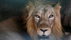Il entre nu dans l'enclos des lions pour se