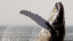 Plus de danger d'extinction pour la plupart des populations de baleine à