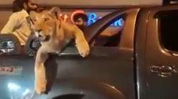 Il se promène en voiture avec sa lionne à