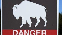 Un bébé bison a dû être euthanasié après son transport par un touriste