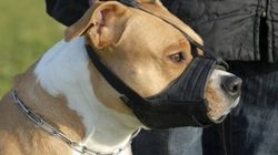 Le règlement sur les pitbulls entraîne plusieurs plaintes à l'ombudsman de