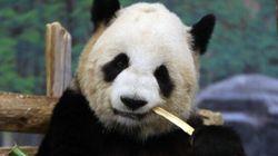 Le panda géant n'est plus en danger