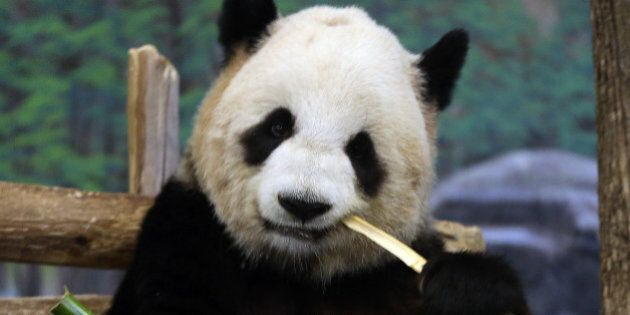 TORONTO, ON - APRIL 29: Staff at Toronto Zoo are hopeful of good news after Canadian first panda insemination.Panda...