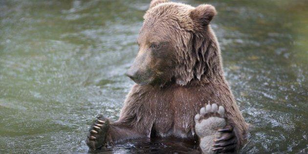KENAI PENINSULA, AK - UNDATED: ***EXCLUSIVE***A male Alaskan Grizzly bear in the water in Kenai Peninsula,...