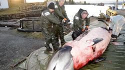 On a découvert une baleine échouée qui avait 30 sacs de plastique dans