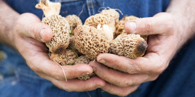 Morel Mushrooms growing in grass and held by a man's hands