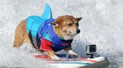 Une compétition de surf...Avec des chiens!