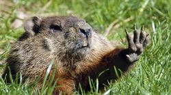 Consensus chez les marmottes canadiennes: le printemps