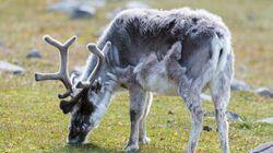 Plus de 300 rennes meurent foudroyés en