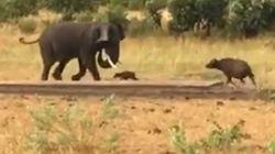 Ce bébé buffle téméraire pourchasse un éléphant de 10 fois sa