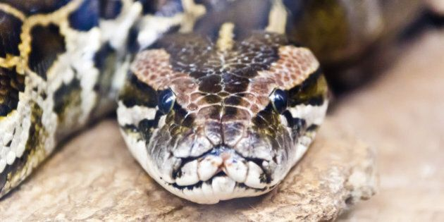 Photo of reticulated python head in full