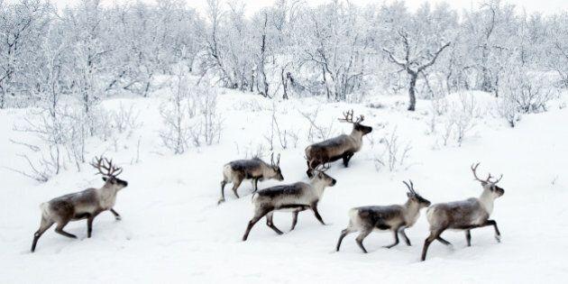 Wild reindeers in snow near