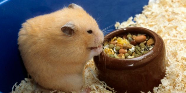 Golden hamster (Mesocricetus auratus) eating mixture of seeds and cereals in cage. (Photo by: Arterra/UIG via Getty Images)