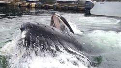 Incroyable. Une baleine fait une surprise dans un port en Alaska