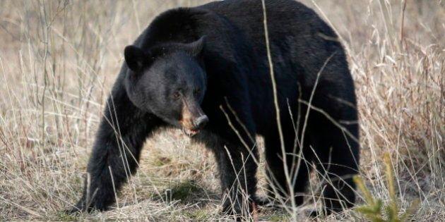 Une attaque d'ours force la fermeture de sentiers à