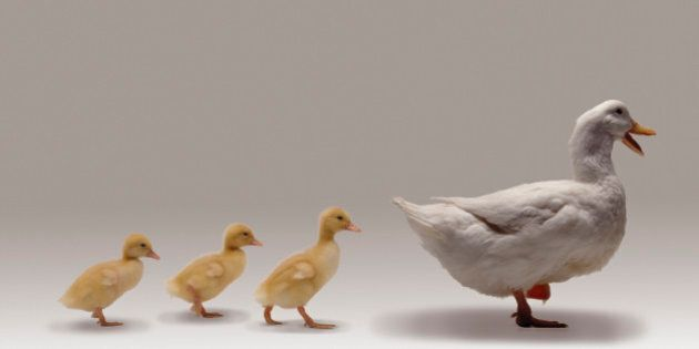Ducks walking in a