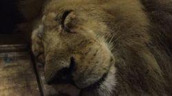 33 lions retrouvent la liberté après une vie de maltraitances