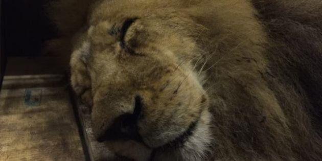 33 lions retrouvent la liberté après 15 heures d'avion et une vie de maltraitances