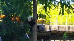 Bei Bei est vraiment un panda snob