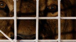 Les 33 lions sauvés de cirques sud-américains arrivent en Afrique