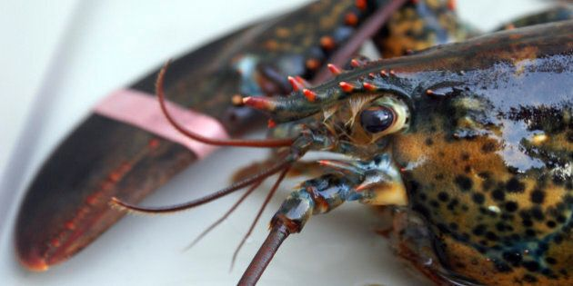 A fresh live lobster in a tank before it is