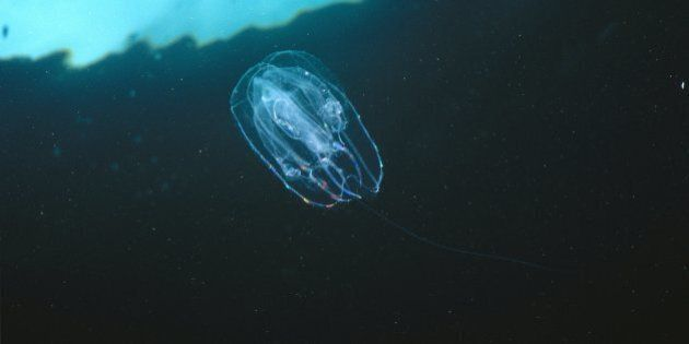 Ctenophore, unidentified, family, Eucharidae, drifting with the current, Waterfall Bay, Tasmania, Australia...
