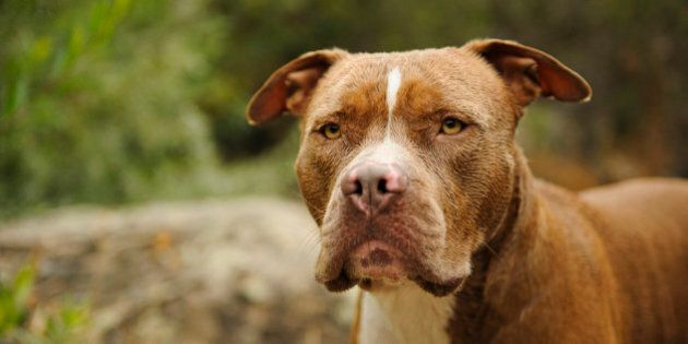 American Pitbull Terrier head shot with reeds and rock on the background.