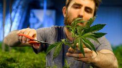 Vente de cannabis: des recettes estimées à 675 millions en