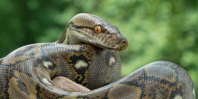 Reticulated Python (Python