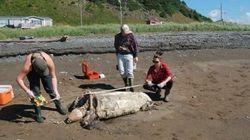 Une tortue menacée tuée par un sac de