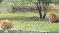 Voyez une lionne tenter d'attaquer des touristes dans un