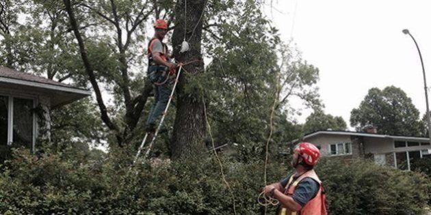 Agrile du frêne : peu de Montréalais font traiter leur