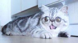 Ce chat est le nouveau Grumpy Cat