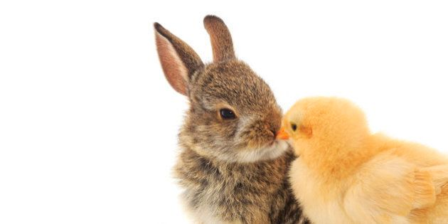 A cute shot of a baby rabbit and chick nose to nose On a white
