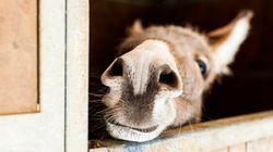 Les ânes sont loin d'être bêtes, la