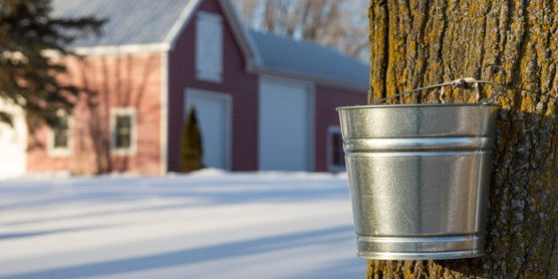 Maple tree being tapped for its sap in the Spring. Silver bucket and tree are in sharp focus in foreground...
