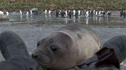 Cet adorable bébé phoque veut vous dire bonjour!