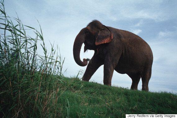 Sambo l'éléphante meurt d'une crise cardiaque en transportant des tourisme au temple