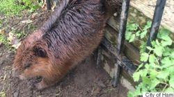 Un castor obèse pris dans une clôture a été secouru en