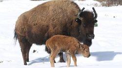 Des bisons sont nés à Banff pour la première fois en 140