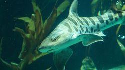 Cette femelle requin a fait des bébés toute