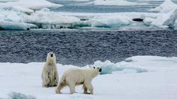 Deux populations d'ours polaires jugées stables en