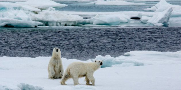 Two Polar bearrs, mother with cub are walking on pack ice. Copy- space.