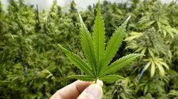 Projet de loi sur le cannabis: plusieurs chantiers pour le