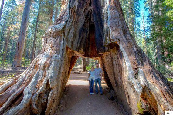 La tempête en Californie fatale à un séquoia géant