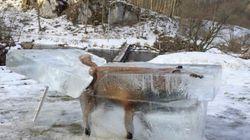 L'incroyable photo d'un renard retrouvé gelé dans un